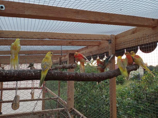 Sprzedam papugi faliste,zeberki,nimfy