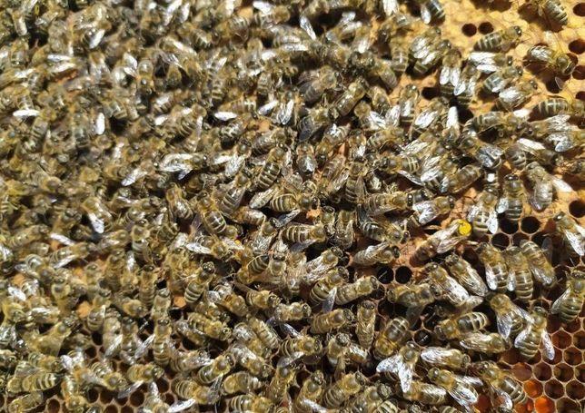 Пчеломатка Матка Карпатка Молодая. Цена соответствует качеству!