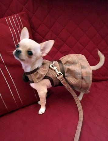 Peitoral + Trela formato vestido para cão pequeno
