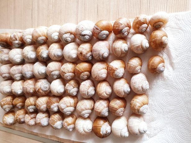 30 szt zostało - Muszle winniczka muszelki muszlowce Tanganika