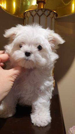 Piesek Maltańczyk Mini z rodowodem.