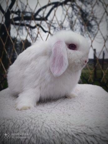 Króliki, królik Mini Lop gotowe do odbioru