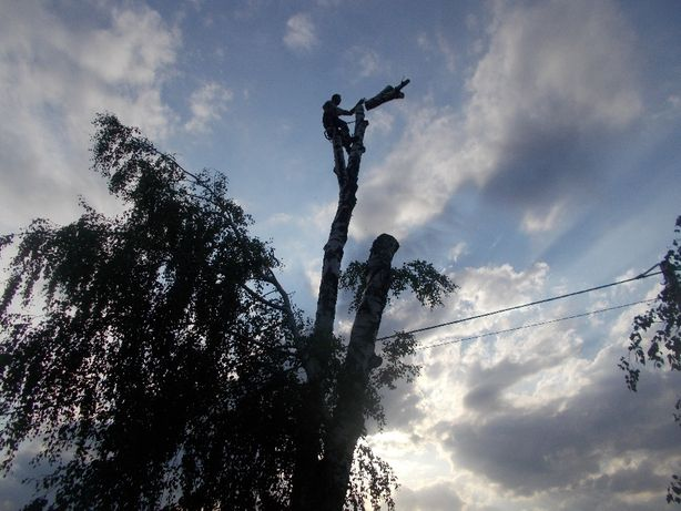 Wycinka drzew przy użyciu technik alpinistycznych