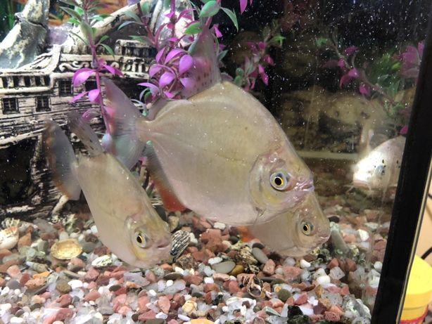 Рыбки аквариумные. Пираньи. Метиннис серебрянный доллар