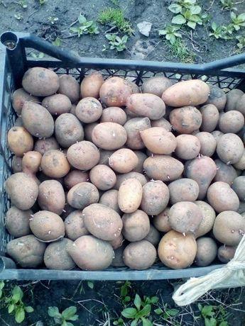 Продам посадочную картофель сортов: гретта, славянка