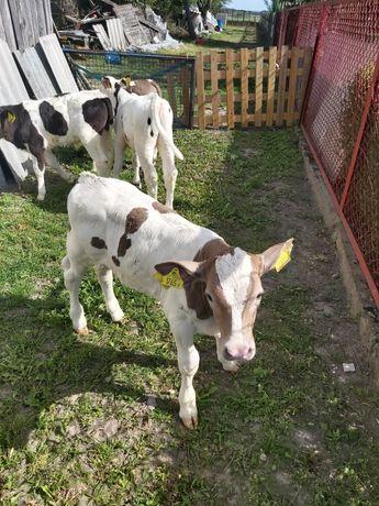 Cielaki mięsne byczki i jałóweczki