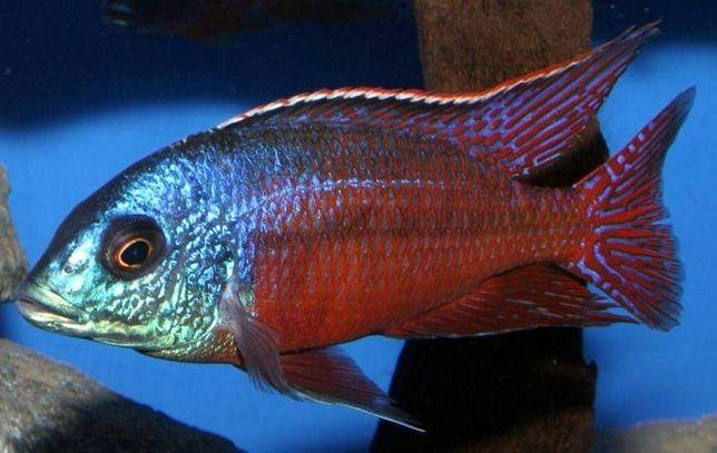 Protomelas Taeniolatus sp. Red Empress Boadzulu - MALAWI Śląsk
