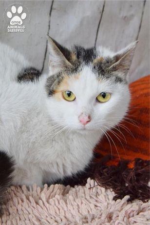 Znaleziono kotkę biało, szaro, rudą Delma gotowa do adopcji!