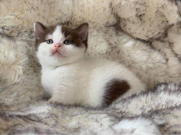 British Shorthair bicolor com pedigree - entrega imediata