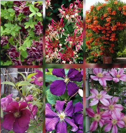 Акебия,клематис, жимолость, розы, ирисы,лилейники,лилии, гибискус,и т