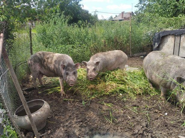 Продам ветнамских свиней