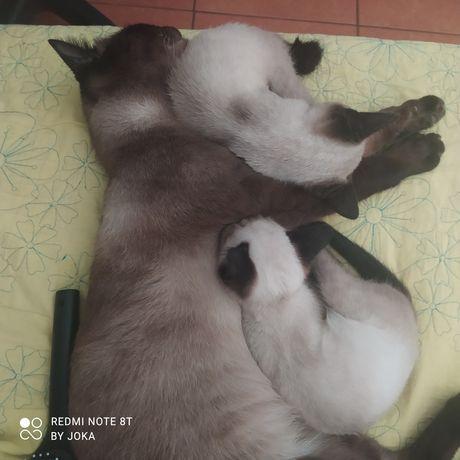 Dou gatinha Siamesa com três meses