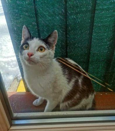 Znaleziono biało-czarnego kota/kotkę