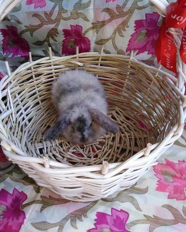 Декоративные кролики баранчики, крольчата