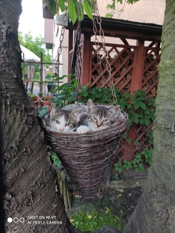 8 tygodniowe kociaki