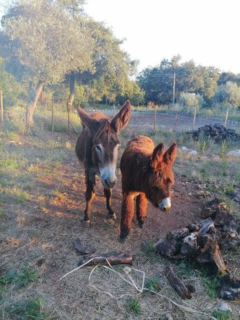 Casal de burros mirandeses