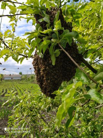 Продам бджоли, бджолопродукти: пилок, прополіс, мед різних сортів, мат