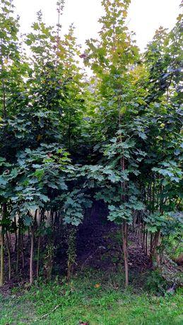 Klon dąb czerwony lipa euchlora szczepiona drzewa sadzonki szkółka