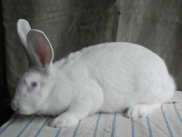 кролики термонской белой породы
