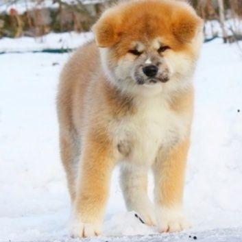 Купить щенка Акита Ину хатико