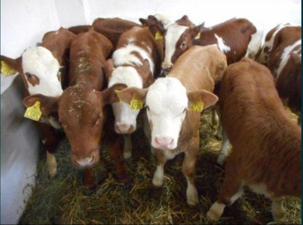 Byczki I jałoszki mięsne