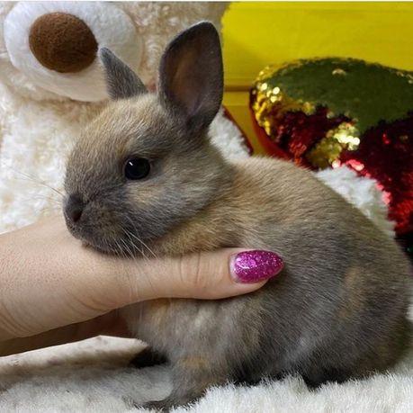 Декоративный кролик. Декоративные минни кролики, самци с питомника.