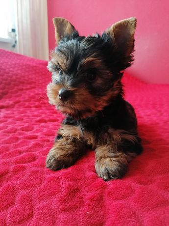 Yorkshire Terrier, York miniaturka