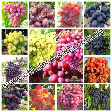 Саженцы винограда мировых сортов большой выбор сортов.