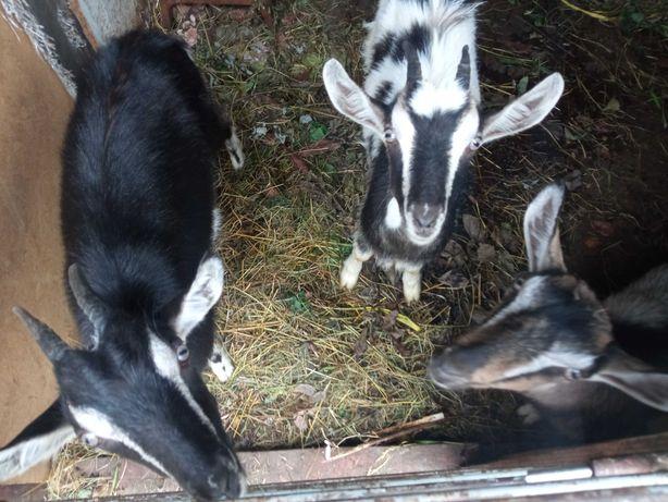 Кози породисті терміново