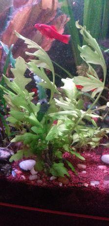 Roślinki do akwarium OKAZJA dostawa gratis!!