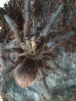 Павук   phormictopus auratus L7, самець
