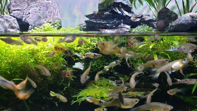 Peixes aquario agua doce Guppy Endler