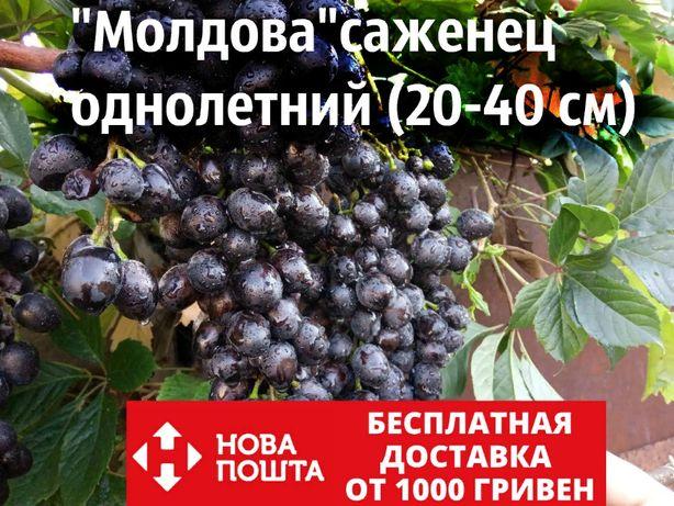 Саженцы винограда сорт «Молдова» (саджанці) технический винный