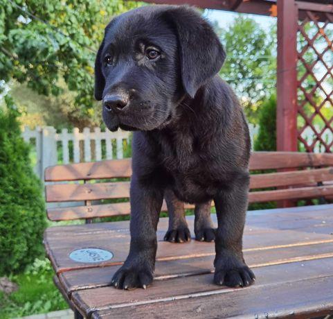 Labradorki czarne i biszkoptowe