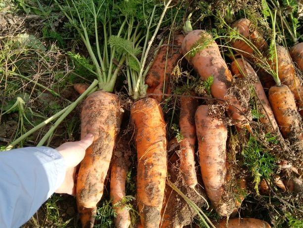 Продам  моркву )))