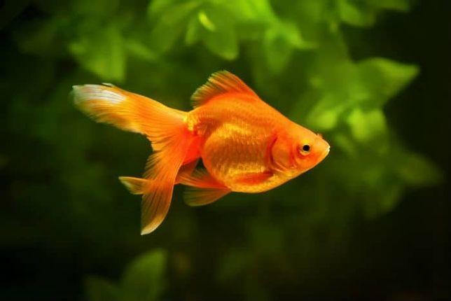 Welon (złota rybka)