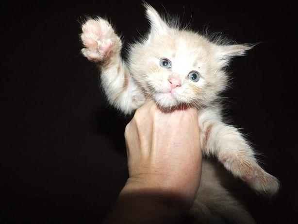 Кремовые мейн кунчики котята