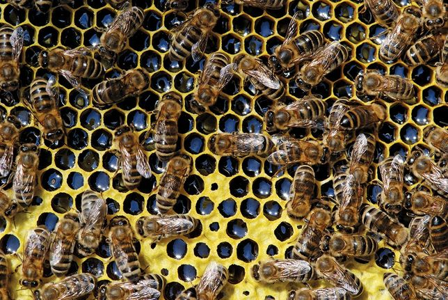 Rodziny pszczele. Pszczoły.