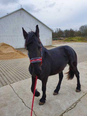 Koń Klacz fryzyjska