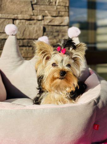 Yorkshire Terrier śliczna mini suczka york