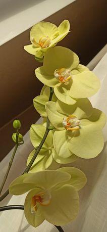 Орхидея роскошная красотка