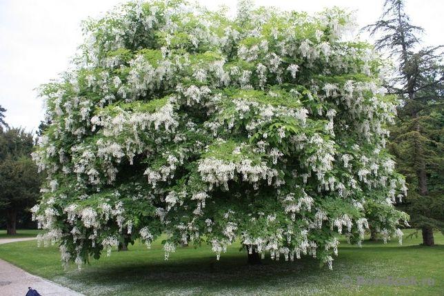 Акация белая (робиния) кусты, деревья- супер медонос