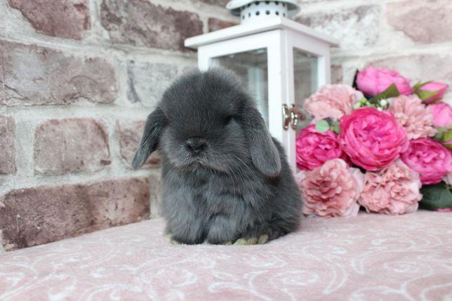 Mini lop królik miniaturka baranek maluszki + WYPRAWKA oswojone
