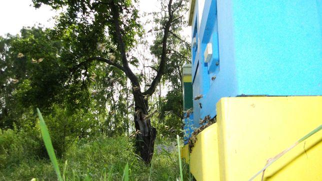 Pszczoły, odkłady, ramka wielkopolska