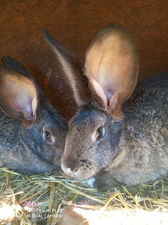 Króliki królik olbrzym belgijski 2,5 miesiąca 12 sztuk