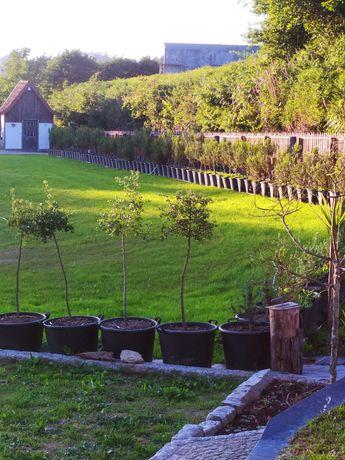Sobreiros loureiros e pinheiros mansos para vários preços