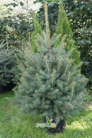 Prudnik Choinka Świerk srebrny 140-160 cm Drzewko w donicy Wysyłka