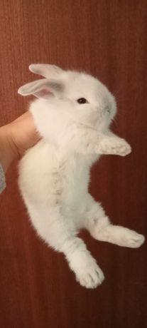 Coelhinho anão disponível