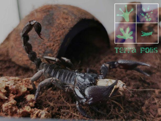 H. petersii Skorpion
