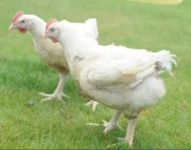 у продажі імпортні яйця для інкубації РОСС-308